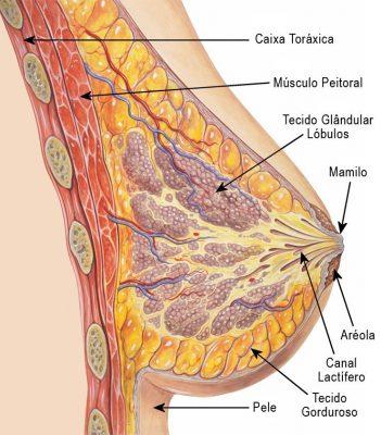 anatomia da mama - alterações da gravidez